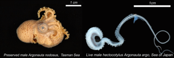Male argonaut and hectocotylus